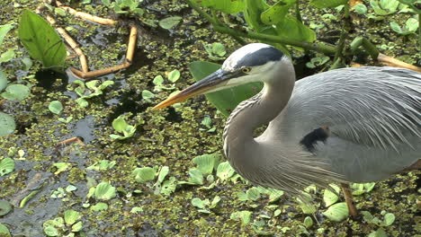 Florida-Great-Blue-Heron-closeup
