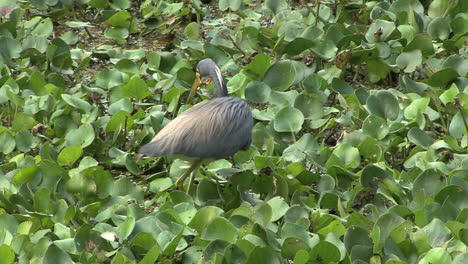 Florida-Great-Blue-Heron-stalking