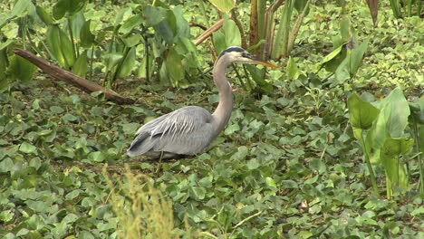 Florida-Great-Blue-Heron-wading