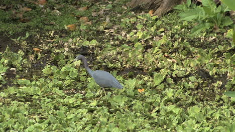 Florida-LIttle-blue-heron-stalking