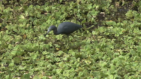 Florida-Little-Blue-Heron-eating