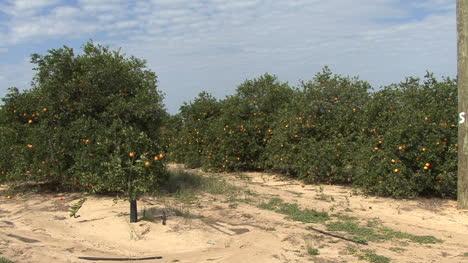 Florida-Orange-grove-sandy-soil