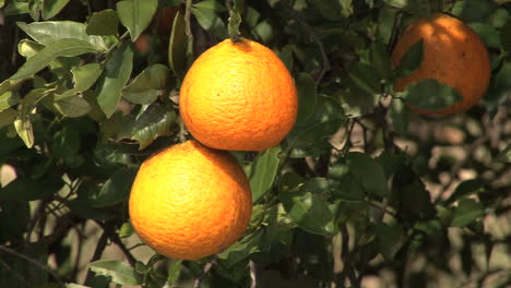 Florida-Oranges-on-a-tree