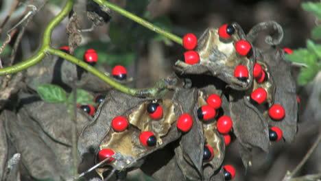 Frijoles-Rojos-Venenosos-De-Florida-Con-Manchas-Negras
