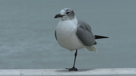 Florida-seagull-standing-on-one-leg