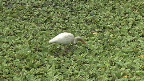 Florida-White-Ibis-feeding