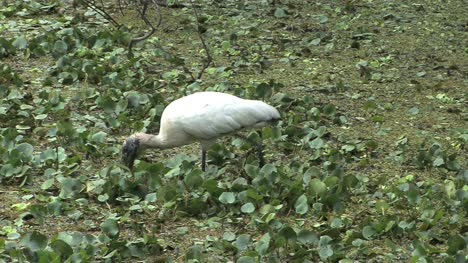 Florida-Wood-stork-eats-prey