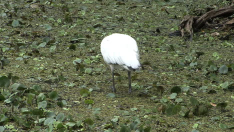 Florida-Wood-stork-wades-and-feeds