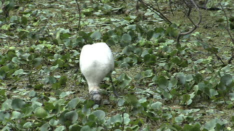 Florida-Wood-stork-feeding