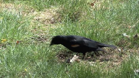 Red-winged-blackbird-on-ground
