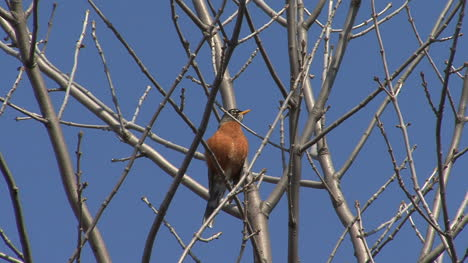 Robin-in-a-spring-tree