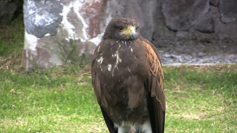 Ecuador-hawk-opens-mouth