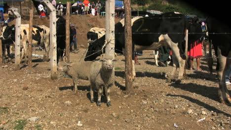 Ecuador-a-lamb-and-cows-in-a-market
