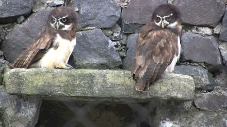 Spectical-owls-in-South-America