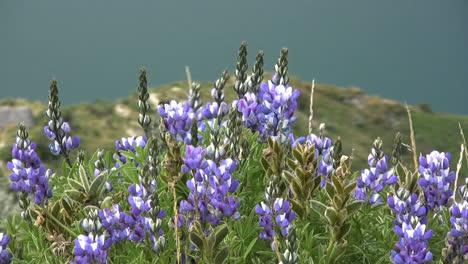 Blue-lupine-flowers