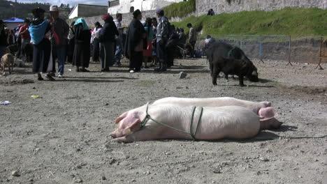 Ecuador-pigs-tied-up-at-market