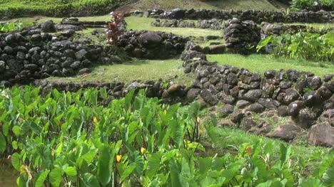 Ancient-terraces-and-taro-on-Kauai