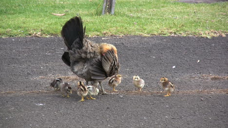 Kauai-Hen-with-baby-chicks