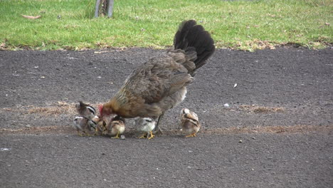 Kauai-Hen-and-baby-chicks-pecking-on-ground