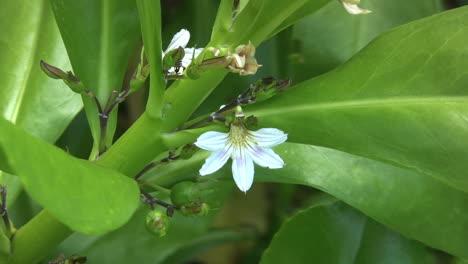 Naupaka-mythic-Hawaiian-flower