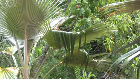 Kauai-Palmetto-and-a-chicken