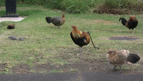 Rooster-and-hens-in-Kauai