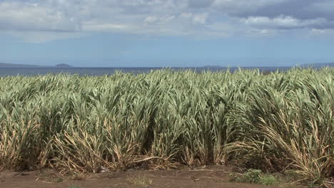 Maui-Sugar-cane-blowing-in-sunlight