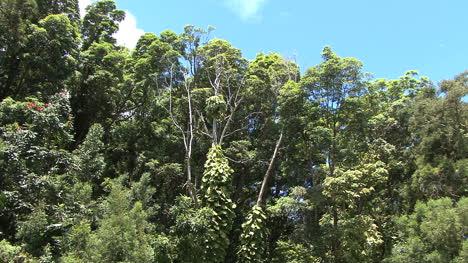 Tops-of-rainforest-trees