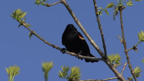 Red-winged-blackbird-in-tree