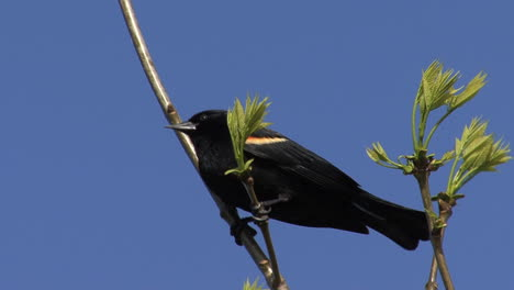 Red-winged-blackbird-in-a-spring-tree
