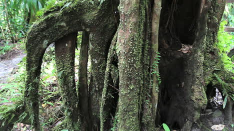 Mossy-roots-in-a-rainforest