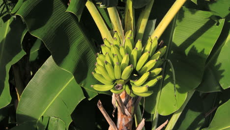 Racimo-De-Banano-En-Un-Banano