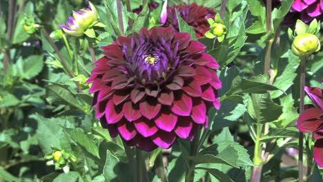 A-dark-reddish-purple-aster