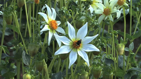 A-bee-lands-on-a-white-aster