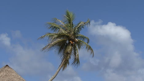 Huahine-zooms-on-coconuts