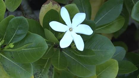 Huahine-white-tropical-flower