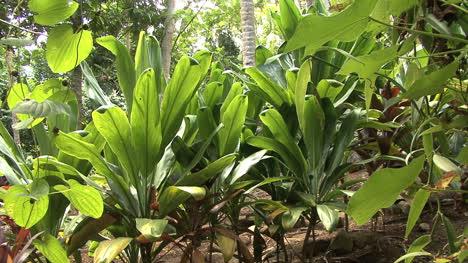 Huahine-tropical-plants-in-row