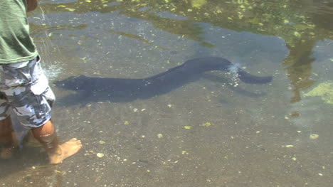 Anguila-Huahine-Nadando-Para-Ser-Alimentada