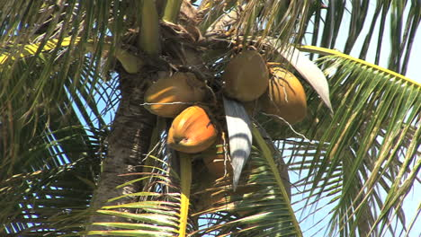 Huahine-coconuts-on-tree