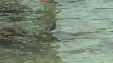 Pez-Loro-Nadando-En-Agua-Clara