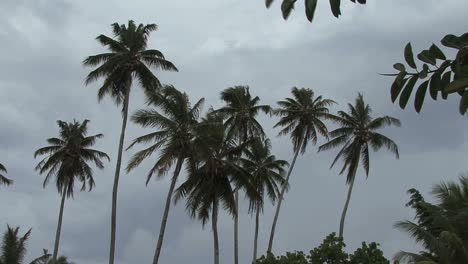 Moorea-palms-and-dark-clouds