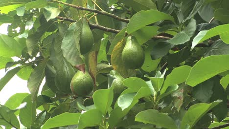 Moorea-avocados-hanging-on-tree