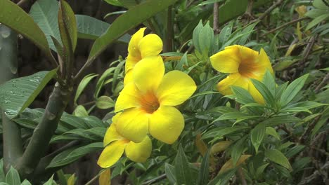 Moorea-allamanda-flower