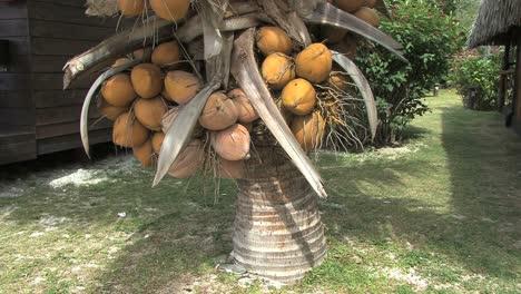 Moorea-coconuts-on-low-tree