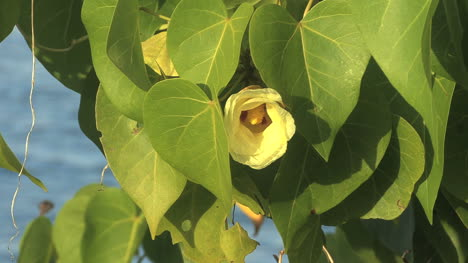 Raiatea-yellow-flower-by-tropical-shore