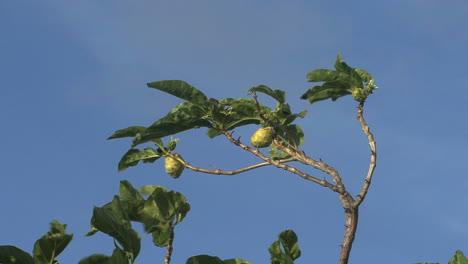 Raiatea-Fruta-Y-árbol-Cielo-Azul