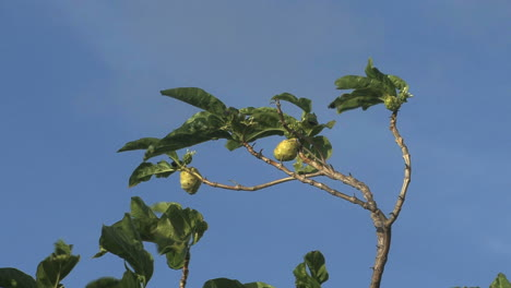 Raiatea-fruit-and-tree-blue-sky
