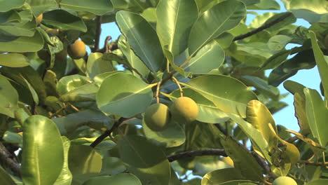 árbol-Raiatea-Con-Fruto-Redondo-1