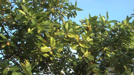 Raiatea-Zooms-on-round-green-fruit