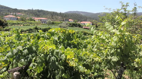 Viñedos-Portugueses-Y-Casas